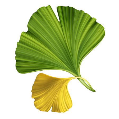 botanic: creative foliage, illustration of ginkgo leaves isolated on white background