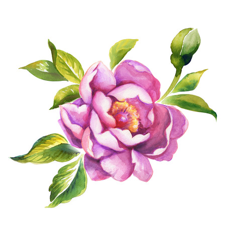 peony or rose watercolor illustration isolated on white Stock Photo