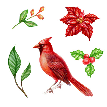 cor: Christmas clip art set isolated on white background, cardinal bird, poinsettia flower, holly berries, watercolor illustration
