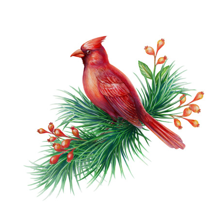 cor: red cardinal bird with pine branch and berries, watercolor illustration isolated on white background