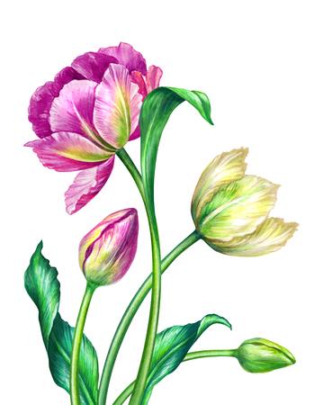 ramo de flores: tulipanes de la acuarela, ejemplo botánico, aislados en fondo blanco Foto de archivo