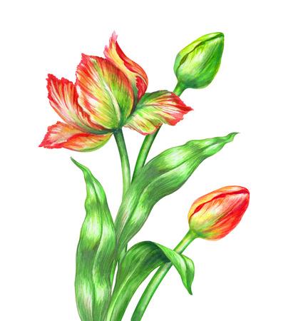 watercolor red tulips, botanical illustration, isolated on white background