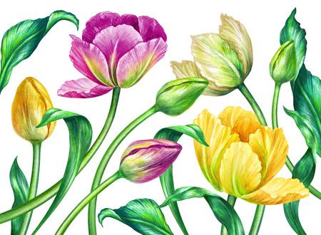 tulips isolated on white background: watercolor tulips, botanical illustration, isolated on white background
