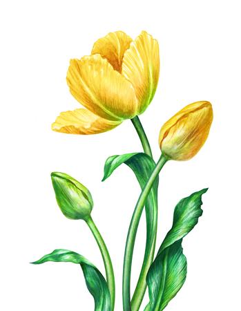 watercolor tulips, botanical illustration, isolated on white background