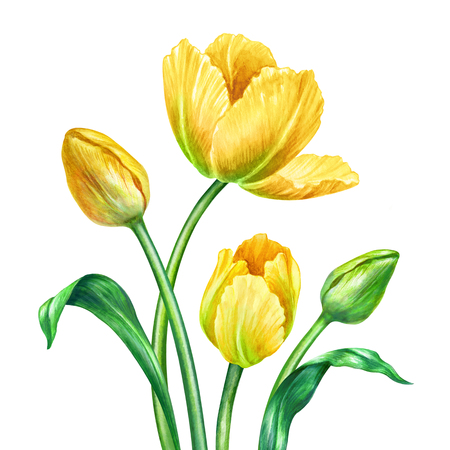 watercolour: watercolor yellow tulips, botanical illustration, isolated on white background Stock Photo