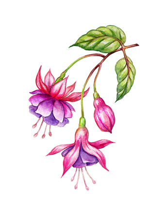 watercolor floral botanical illustration, green leaves, wild garden pink fuchsia flowers, isolated on white  background Reklamní fotografie - 77075717