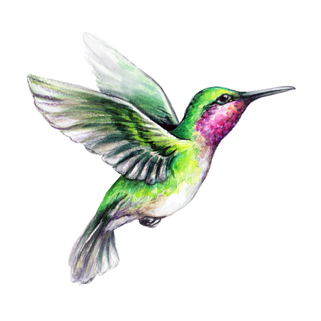 watercolour: watercolor illustration, flying hummingbird isolated on white background, exotic, tropical, wild life clip art