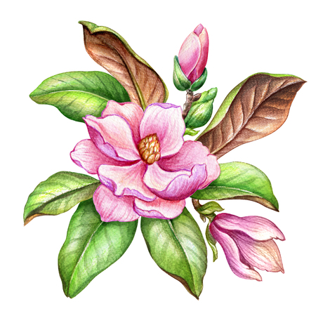 watercolor illustration, pink magnolia flower, floral design element, botanical clip art, isolated on white background