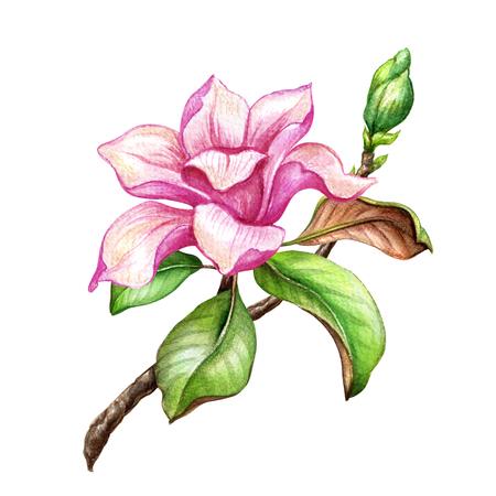 水彩イラスト ピンク マグノリアの花、花のデザイン要素、植物クリップアート、白い背景で隔離 写真素材