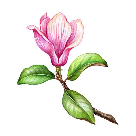 watercolor illustration, pink magnolia flower, floral design element, botanical clip art, isolated on white background