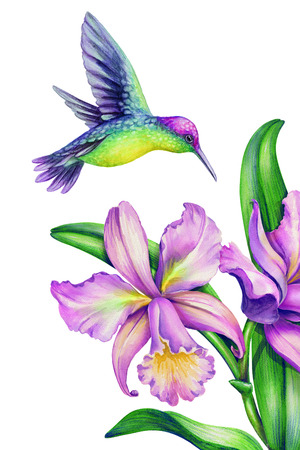 watercolor illustration, flying hummingbird, tropical paradise bird, orchid flowers, isolated on white
