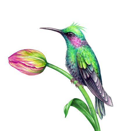 Aquarel illustratie, groene kolibrie, tropische paradijs vogel, tulp bloem, geïsoleerd op wit Stockfoto