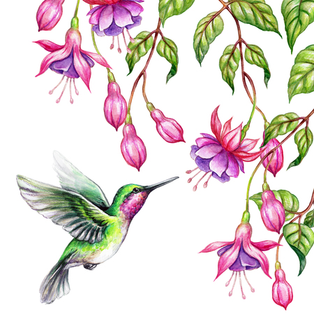 watercolor illustration, exotic nature, flying humming bird, tropical fuchsia flowers, green leaves, isolated on white background Stock Photo