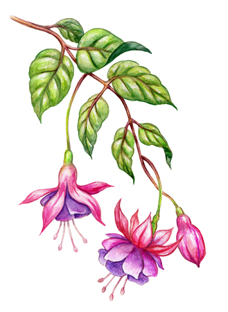 watercolor floral botanical illustration, green leaves, wild garden pink fuchsia flowers, isolated on white  background Фото со стока - 80866464