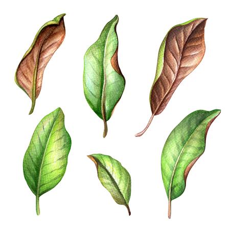 arbol de pascua: acuarela ilustración botánica, árbol de magnolia hojas verdes colección, la primavera de la naturaleza, elementos de diseño floral aisladas sobre fondo blanco