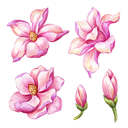 watercolor botanical illustration, pink magnolia flowers, blooming spring nature set, floral design elements isolated on white background Stock Photo