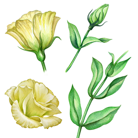 watercolor illustration, lisianthus, assorted flower collection, floral design elements isolated on white background