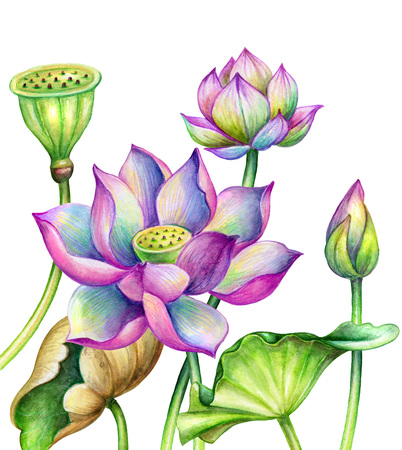 watercolor botanical illustration, lotos flowers, oriental garden nature, pink water lillies, green leaves, lotus, tropical floral clip art isolated on white