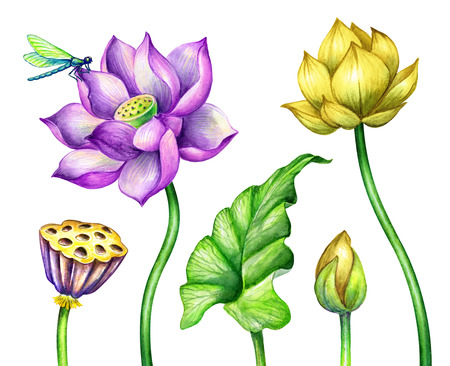 watercolor botanical illustration, pink yellow lotos flowers, oriental garden nature, water lillies, green leaves, chinoiserie elements, lotus, tropical floral clip art isolated on white Archivio Fotografico