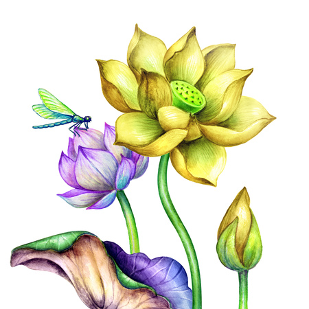 watercolor botanical illustration, yellow lotos flowers, oriental garden nature, vivid water lillies, green leaves, chinoiserie, lotus, tropical floral clip art isolated on white background Stock Photo