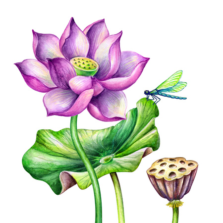 watercolor botanical illustration, pink lotos flowers, oriental garden nature, water lillies, green leaves, chinoiserie, lotus, tropical floral clip art isolated on white background
