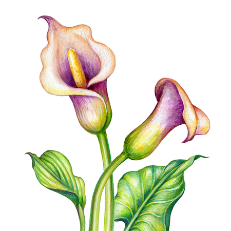 watercolor botanical illustration, pink calla lillies, cala lily flowers, tropical nature clip art isolated on white background