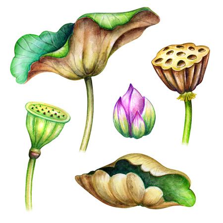 watercolor botanical illustration, green lotus leaves, flowers, oriental garden nature, delicate water lillies, chinoiserie design elements, lotos, tropical floral clip art isolated on white background