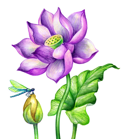 watercolor botanical illustration, pink lotos flowers, oriental garden nature, water lillies, green leaf, chinoiserie, lotus, tropical floral clip art isolated on white background