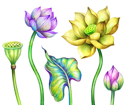 watercolor botanical illustration, pink yellow lotos flowers, oriental garden nature, colorful water lillies, green leaves, chinoiserie design elements, lotus, tropical floral clip art isolated on white background