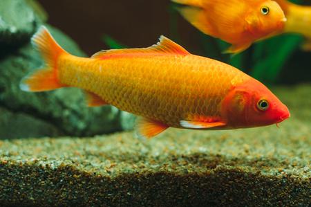 carassius auratus: Aquarium fish - goldfish Carassius auratus