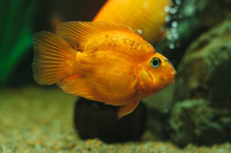 Aquarium fish - Red Parrot Cichlid Stock Photo