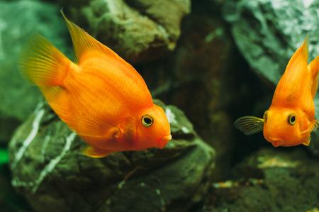 cichlasoma: Aquarium fish - Red Parrot Cichlid Stock Photo