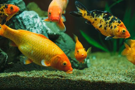 carassius auratus: gold aquarium fish Carassius auratus