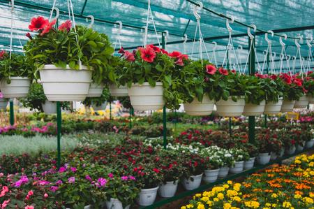 Bloemen die in een pot in de serre hangen Stockfoto
