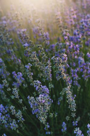 Bush of lavender at sunset