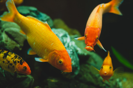 Gold aquarium fishes Carassius auratus swimming in fresh water Stock Photo