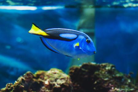 Fish blue surgeonfish paracanthurus hepatus or blue tang, regal tang, palette surgeonfish.