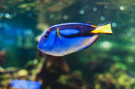 Fish blue surgeonfish paracanthurus hepatus or blue tang, regal tang, palette surgeonfish. 写真素材 - 95849894