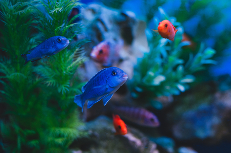 Aquarium fish - Cichlids. Fish from the family Cichlidae in the order Perciformes.