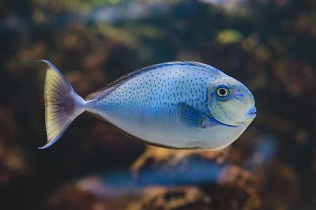 Aquarium fish - Acanthurus bariene. Black-spot surgeonfish Stock Photo