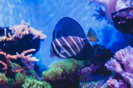 Red Sea sailfin tang or Desjardins sailfin tang Zebrasoma desjardinii. Marine reef tang in the fish family Acanthuridae.