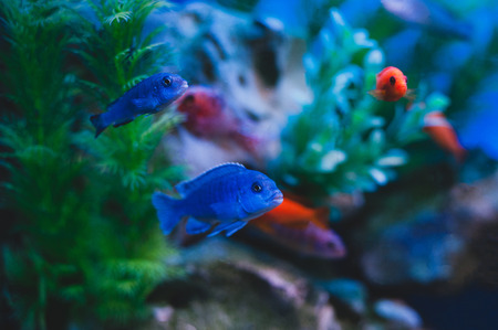 Aquarium fish - Cichlids. Fish from the family Cichlidae in the order Perciformes. Stock Photo - 105534472