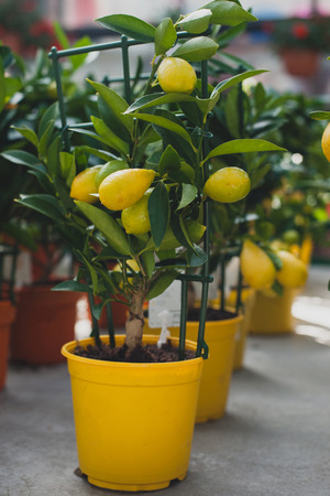 Limequat tree - citrofortunella hybrid of lime and kumquat.