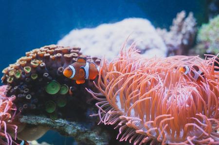 Clown fish and Sea Anemone and in aquarium. Marine life.