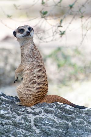 Meerkat suricate or Suricata suricatta. Small carnivoran belonging to the mongoose family - Herpestidae. African native cute animal.
