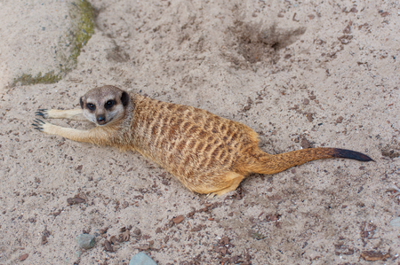 Meerkat suricate or Suricata suricatta. Small carnivoran belonging to the mongoose family - Herpestidae. African native animal. Cute tricky glance. Stock Photo - 115529801