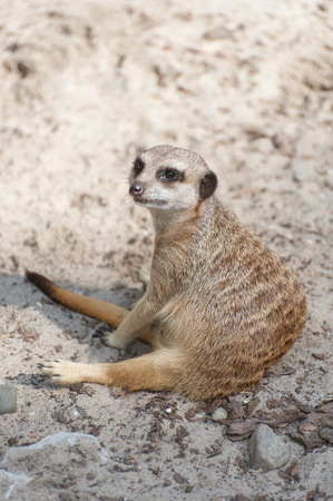 Meerkat suricate or Suricata suricatta sitting. Small carnivoran belonging to the mongoose family - Herpestidae. African native cute animal. Stock Photo