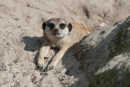 Suricata suricatta or Meerkat suricate. Small carnivoran belonging to the mongoose family - Herpestidae. African native cute animal. Stock Photo - 115529849