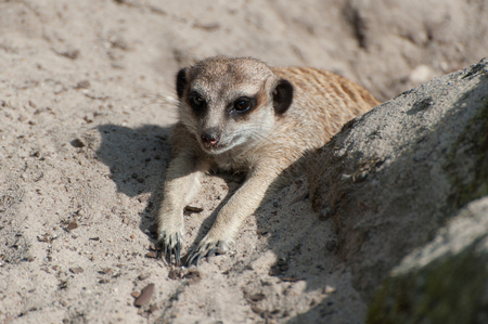 Suricata suricatta or Meerkat suricate. Small carnivoran belonging to the mongoose family - Herpestidae. African native cute animal. Stock Photo - 115529878