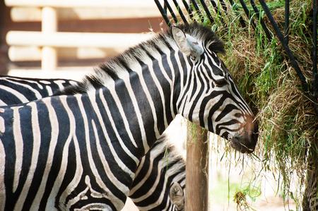 Zebra is eating grass close up portrait